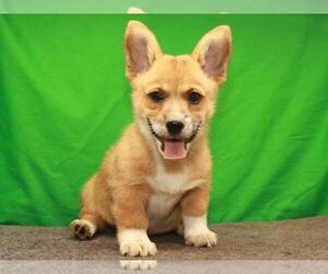 Pembroke Welsh Corgi Puppy for Sale in SHAWNEE, Oklahoma USA
