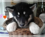 AKC ALASKAN MALAMUTE FEMALE BORN JUNE 6TH