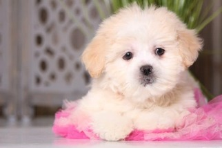 Lhasa-Poo Puppy for sale in MOUNT VERNON, OH, USA