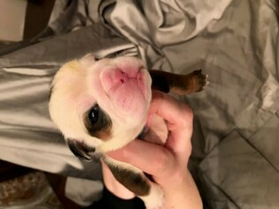 English Bulldog Puppy For Sale in COLLEYVILLE, TX, USA