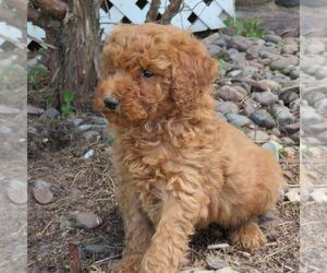 Poodle (Miniature) Puppy for sale in STANLEY, WI, USA