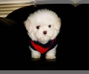 Maltese Puppies For Sale Near Greenville North Carolina Usa