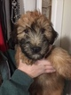 Soft Coated Wheaten Terrier Puppy For Sale in CORWIN, OH, USA
