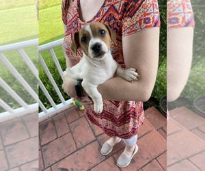 Jack Russell Terrier Puppy for Sale in MOREHEAD, Kentucky USA