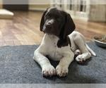 Puppy 12 German Shorthaired Pointer