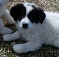 Medium Great Pyrenees-Labrador Retriever Mix