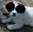 Great Pyrenees-Labrador Retriever Mix Puppy For Sale in KENDRICK, ID