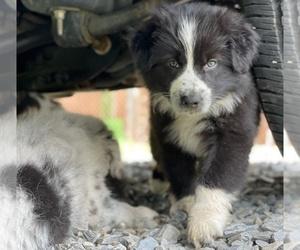 Australian Shepherd Puppy for Sale in LEXINGTON, North Carolina USA