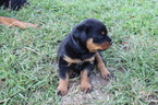 Rottweiler Puppy For Sale in PRIMM SPRINGS, TN,