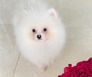 Pomeranian Puppy for sale in AVENTURA, FL, USA