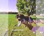 Puppy 4 German Wirehaired Pointer