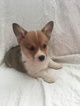 Small #6 Pembroke Welsh Corgi
