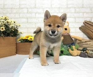 Shiba Inu Puppy for sale in SACRAMENTO, CA, USA