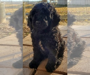 Poodle (Standard) Puppy for sale in GOWER, MO, USA
