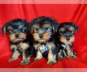 Yorkshire Terrier Dog for Adoption in SAN FRANCISCO, California USA