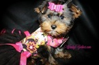 Yorkshire Terrier Puppy For Sale in POWDERLY, TX, USA