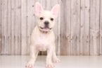 French Bulldog Puppy For Sale in MOUNT VERNON, OH, USA