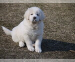 Small #3 Great Pyrenees-Tibetan Mastiff Mix
