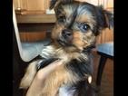 Puppy 1 Yorkshire Terrier