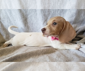 Dachshund Puppy for sale in GALT, CA, USA