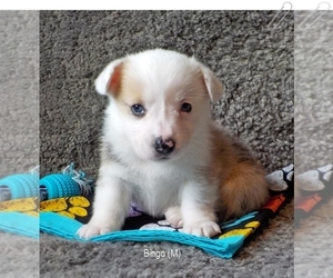 Pembroke Welsh Corgi Dog for Adoption in MANSFIELD, Missouri USA