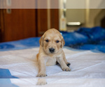 Puppy 8 Golden Retriever