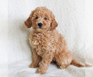 Goldendoodle-Poodle (Miniature) Mix Puppy for sale in MANHEIM, PA, USA
