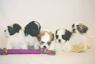 Zuchon Puppy For Sale in SWAN VALLEY, MT