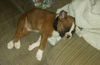 Boxer Puppy For Sale in TIPTON, IN