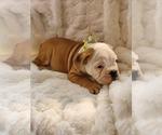 Small #25 English Bulldog