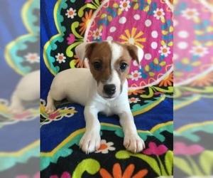 Jack Russell Terrier Puppy For Sale in TREZEVANT, TN, USA