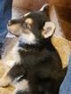 German Shepherd Dog Puppy For Sale in HIXSON, TN, USA