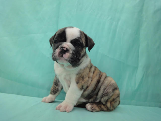 english bulldog rescue va view ad bulldog puppy for sale virginia richmond 7228