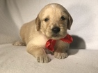 Goldendoodle Puppy For Sale in LAKELAND, Florida,