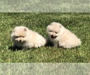 Pomeranian Puppy for sale in SILVERTON, OR, USA
