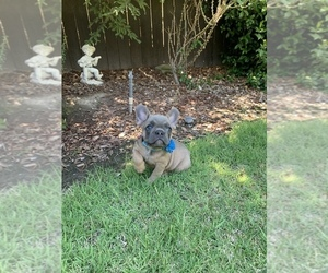 French Bulldog Puppy for Sale in MODESTO, California USA