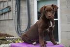 Sheprador Puppy For Sale Baltic OH Female Medallia