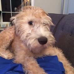 Soft Coated Wheaten Terrier Puppy For Sale in GAITHERSBURG, MD