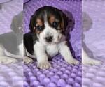 Small #7 Beagle