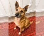Small Black Mouth Cur-German Shepherd Dog Mix