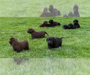 Labrador Retriever Puppy for Sale in OREM, Utah USA