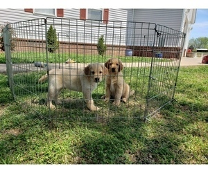 Golden Retriever Puppy for sale in CLAREMORE, OK, USA