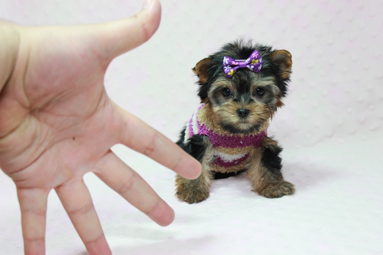 yorkie puppies for sale wilmington nc view ad yorkshire terrier puppy for sale near north 1745