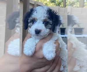 Aussiedoodle-Cavapoo Mix Puppy for sale in PHOENIX, AZ, USA