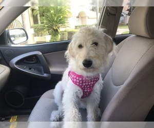 Labradoodle Puppy For Sale in NEW PORT RICHEY, FL, USA