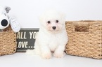 Bichon Frise Puppy For Sale in NAPLES, FL, USA