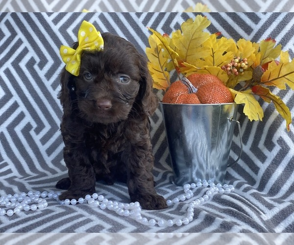 View Ad: Cocker Spaniel-Poodle (Miniature) Mix Puppy for Sale In Singapore