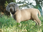 Weimaraner Puppy For Sale in AMORITA, OK,