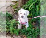 Small #19 Poodle (Miniature) Mix