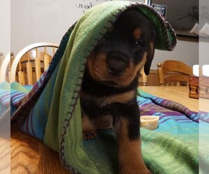 Rottweiler Puppy for sale in VIOLA, AR, USA